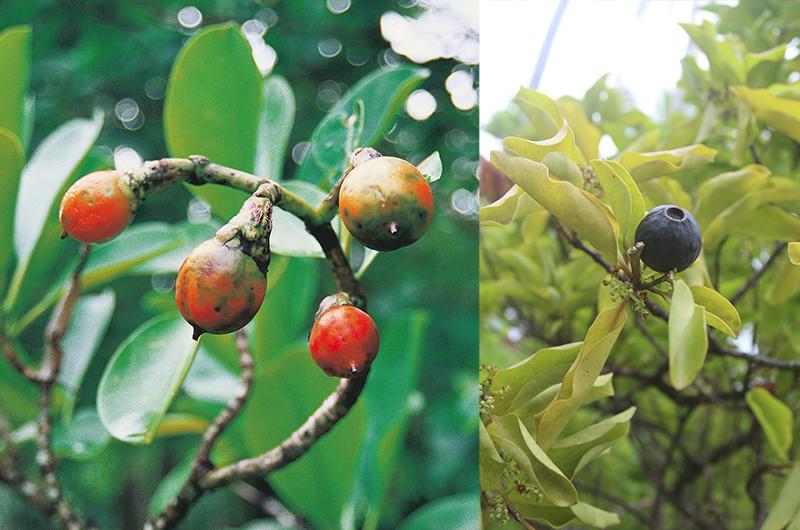 À gauche, Fleurs et fruits du pua (Fagraea berteriana); c'est dans le tronc d'un de ces arbres qu'aurait été sculpté A'a, du moins le pensait-on jusqu'en 2015… À droite, Un jeune pied de santal de Raivavae et son fruit; depuis 2015, selon des analyses, des spécialistes affirment que A'a a été sculpté dans un tronc de santal. On imagine la taille de l'arbre...