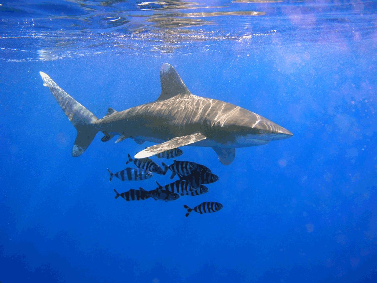 Le requin longimane, parata en tahitien, est responsable de cette attaque contre une touriste au large de Moorea.