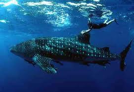 Un plongeur kiwi s'offre une séance improvisée de « Whale-riding » à Fidji