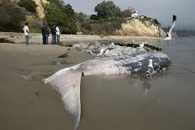 Des carcasses de baleines échouées sur la côte ghanéenne inquiètent les écologistes