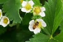 La pollinisation par les abeilles donne des fraises plus fermes et plus grosses
