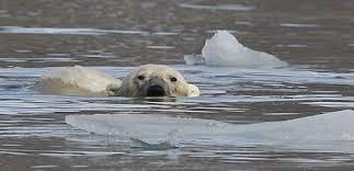 Exploitation du pétrole et trafic maritime : les nouvelles menaces pour l'ours polaire