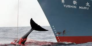 Pêche à la baleine: l'Australie envoie un avion de surveillance