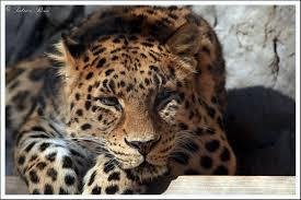La panthère de l'Amour, grande gagnante 2013 de la protection des espèces