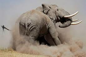 Flambée du braconnage d'éléphants en Tanzanie depuis deux mois