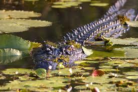 Australie: un garçonnet de 12 ans emporté par un crocodile
