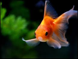 """GB: Avaler des poissons rouges vivants est """"horrible"""" et illégal"""