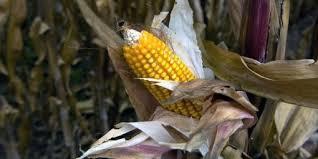 Faute d'accord entre Etats, un nouvel OGM va être autorisé dans l'UE