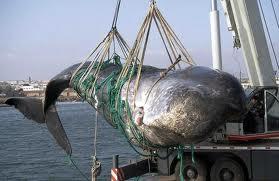 Chasse à la baleine: Washington n'écarte pas des sanctions contre l'Islande