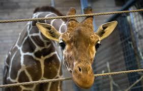 Un girafon en parfaite santé euthanasié au zoo de Copenhague