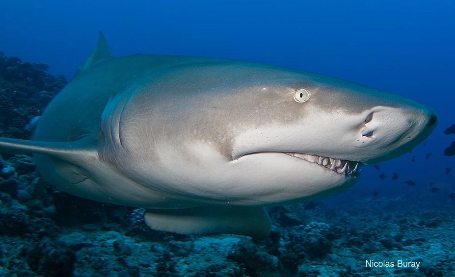 Suivi des requins en Polynésie : +5000 fiches d'observation en 2 ans.