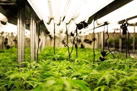 Canada: cannabis à des fins médicales, la bonne affaire