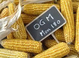 Course contre-la-montre pour éviter des champs de maïs OGM en France