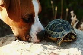 Afrique du Sud: un chien dressé pour renifler des tortues rares