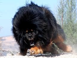Chine: un chien vendu pour 1,4 million d'euros