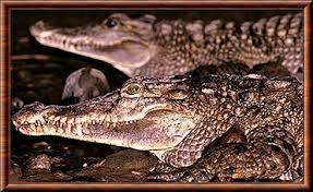 Pays-Bas: un crocodile rare meurt en plein accouplement