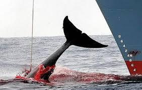 Chasse à la baleine: le Japon respectera le verdict de la CIJ