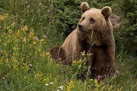 La population d'ours augmente dans les Pyrénées