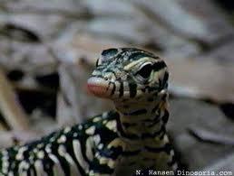 Des bébés dragons de Komodo à la Ferme aux crocodiles