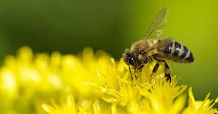 Le Sénat reconnaît l'abeille comme bio-indicateur