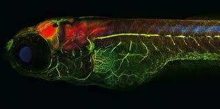 Alzheimer : des expériences sur des poissons zèbres prometteuses, selon le Pr Baulieu