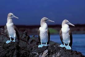 Inquiétude pour le fou aux pieds bleus, un des symboles des Galapagos