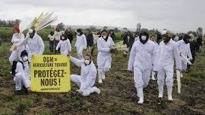 Action des faucheurs et de Greenpeace contre un champ de maïs OGM