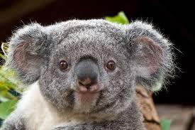 Chute des populations de petits marsupiaux d'Australie
