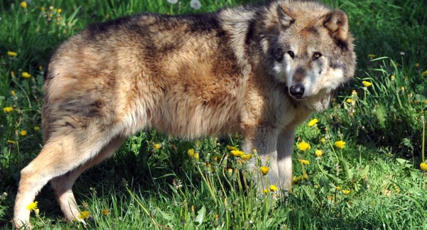 La présence du loup fait monter la pression dans l'Aude