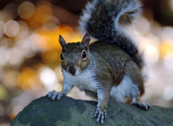 Gris ou roux, les écureuils sont égaux n'en déplaise au prince Charles (association)
