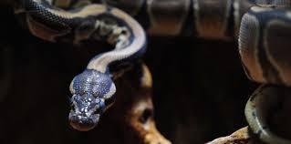 Hong Kong: un chien sauvé des anneaux d'un python par sa maîtresse