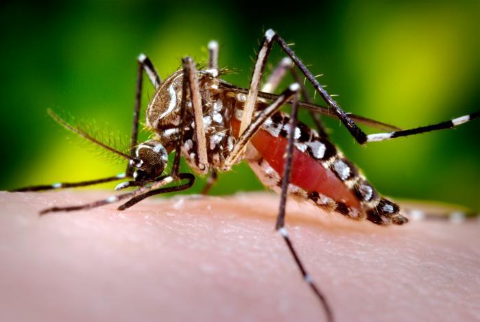 En Polynésie française, le moustique Aedes aegypti pourrait être le transmetteur du virus du chikungunya.