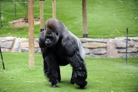 Exercice d'évasion d'un gorille: c'est le soigneur qui prend une fléchette tranquillisante