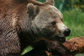 """Appel à """"remplacer"""" l'ours Balou, mort dans les Pyrénées"""
