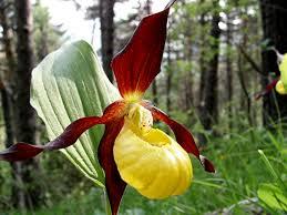 Des orchidées et les lémuriens menacés d'extinction selon l'UICN