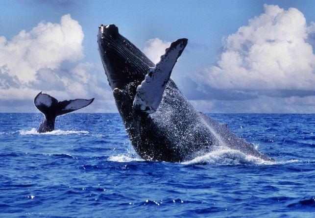 5 000 baleines sillonnent le Pacifique Sud