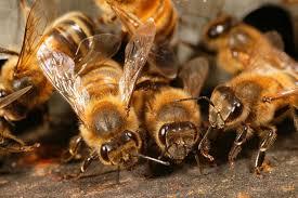 Les abeilles, des sentinelles à l'honneur du 19 au 21 juin
