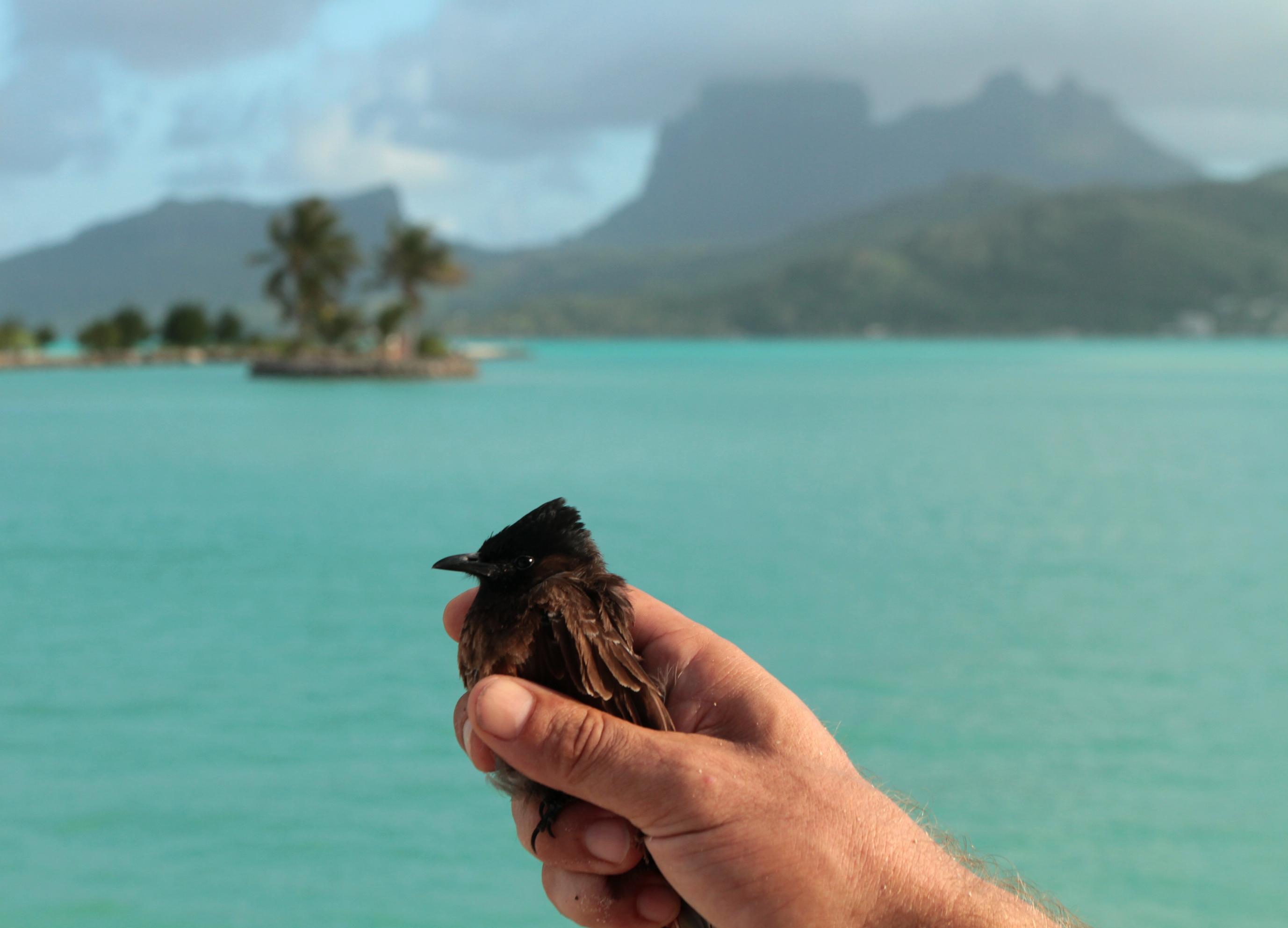 Le bulbul à ventre rouge est en train d'envahir Bora Bora, mais les autorités ont commencé à réagir (crédit Thomas Ghestemme)