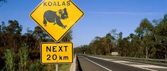 Agrippé à une voiture qui file sur l'autoroute, le koala survit