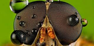 La mouche de l'Antarctique, insecte de l'extrême au génome minuscule