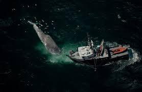Protection des baleines: les bateaux de six compagnies maritimes vont ralentir