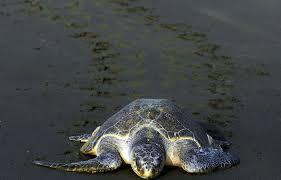Nicaragua: arrivée de tortues sous la protection de l'armée