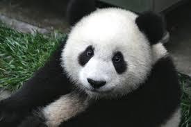 """Chine: la """"gestation simulée"""" d'un panda qui voulait profiter de rations supplémentaires"""
