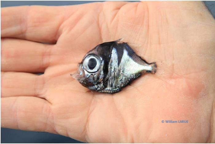 Une nouvelle espèce de poisson découverte en Nouvelle-Calédonie