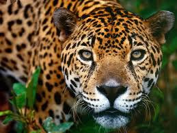 Le jaguar, roi menacé du Pantanal brésilien