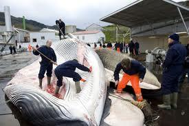 L'Islande sommée de stopper la chasse à la baleine par l'UE et une coalition internationale