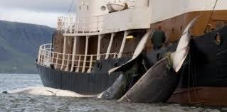 Baleines: la pression s'accroît sur le Japon, déterminé à retourner en Antarctique