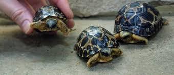 Le Pakistan remet à l'eau des tortues rares transportées en Chine par des braconniers