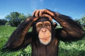 USA: les chimpanzés sont-ils légalement des personnes ?