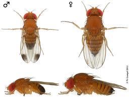 Une espèce invasive de moucherons inquiète chercheurs et agriculteurs